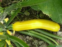 gele komkommer