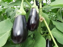 auberginepant