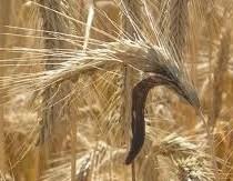 de schimmel moederkoren groeiend op graan