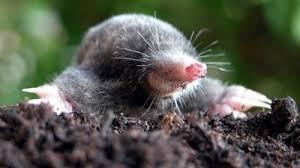 een groninger mol, maar niet om mee te roosteren
