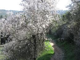 als de amandelbomen bloeien in het vroege voorjaar