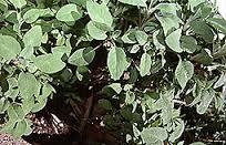 salieplant