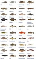 zoetwatervis