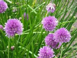 bieslook bloemetjes