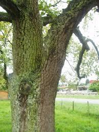 perenboom een oude