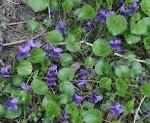 maartse viooltjes in de tuin