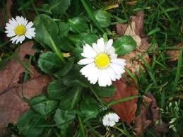 meizoentje blad en bloem