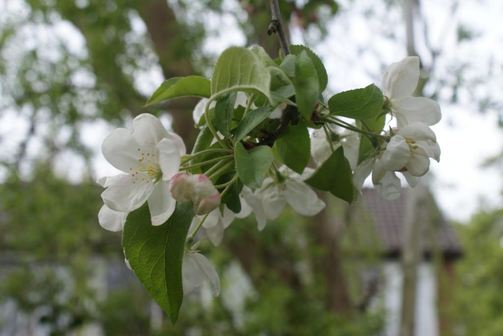 appel bloesem 2