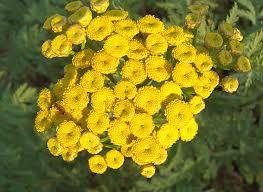 bloemen boerenwormkruid