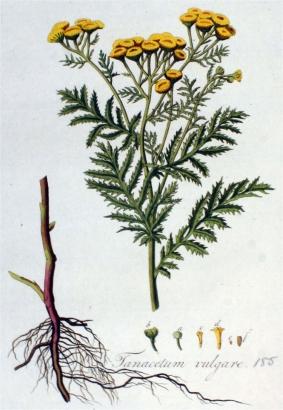 boerenwormkruid oude prent
