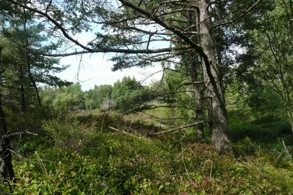 bos met bosbessen