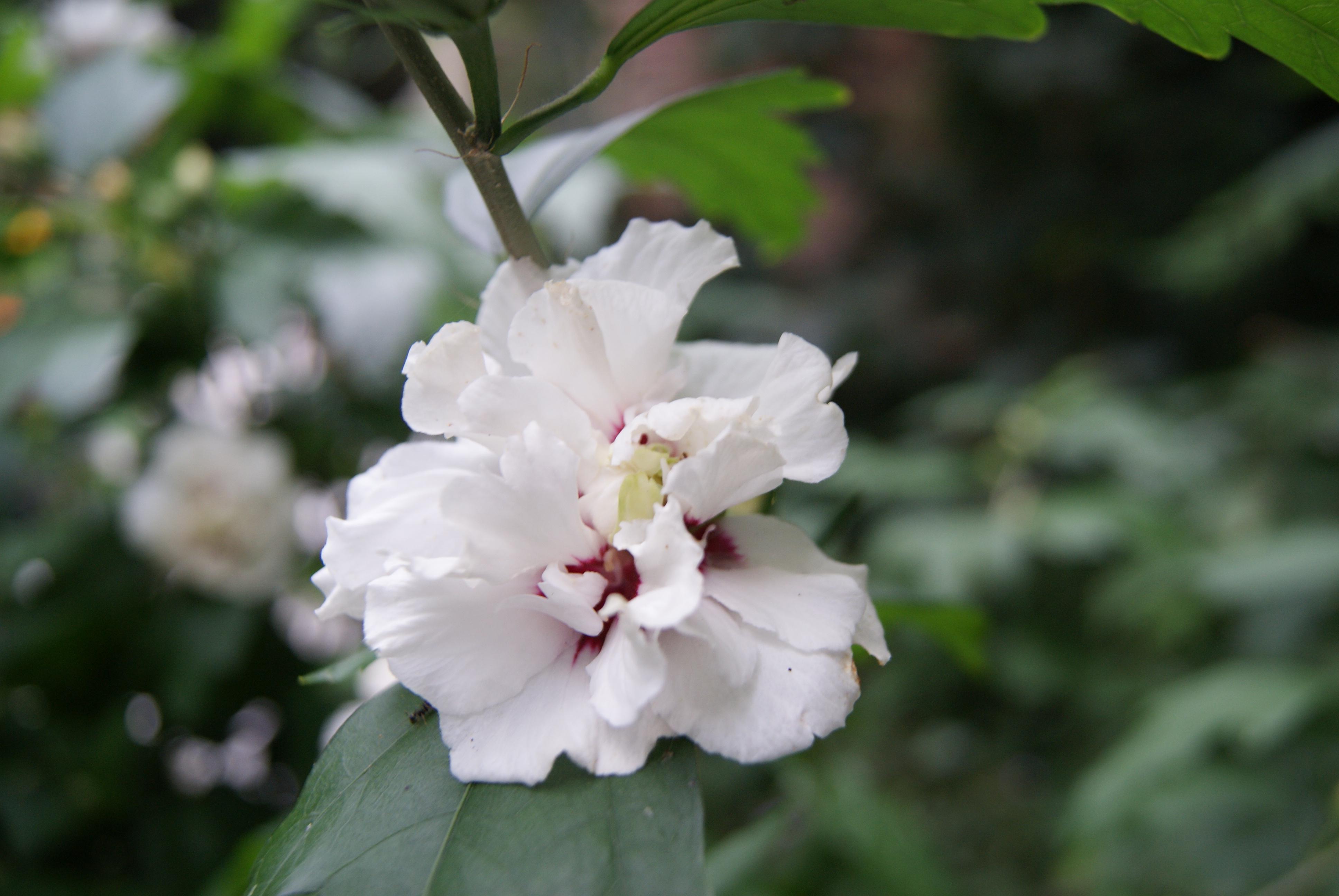 tuin hibiscus 3 neddis