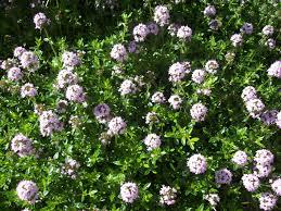 bonenkruid bloeiend