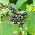 zwarte, niet eetbare bessen van de rode kornoelje