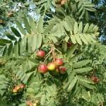 Peerlijsterbes bestaat ook met vruchten in een soort appelvorm