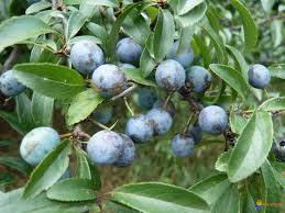 Prunellen aan de boom