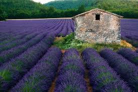 lavendelteelt Provence