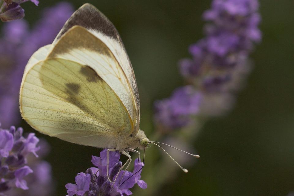 vlinder op lavendel neddis 2015