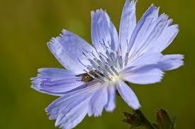 bloem cichorei