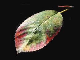 herfstblad krentenboompje