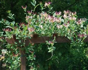 kamperfoelie groeit op een pergola