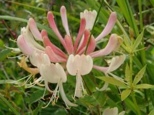 lonicera periclymenum bloem van kamperfoelie