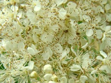 moerasspirea bloemen