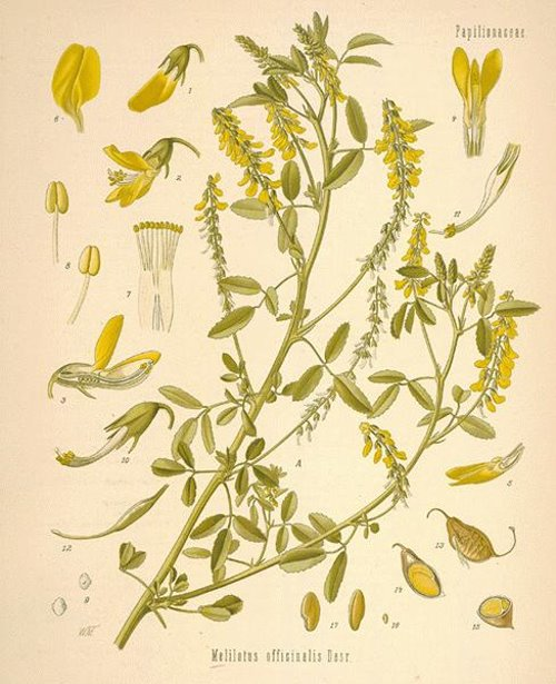 Melilotus officinalis Citroengele Honingklaver