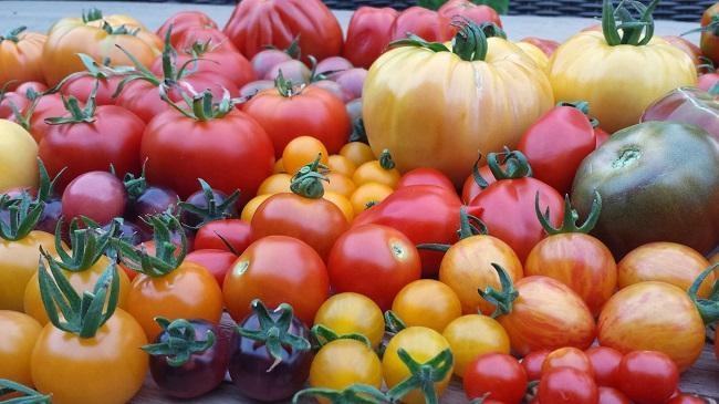 tomaten oogst in eindeloos veel soorten
