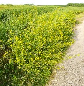 akkerhoningklaver als plant bij de wadden en rond kreken