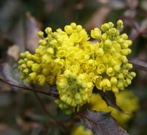 bloem mahonie