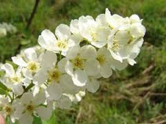 bloem vogelkers 1