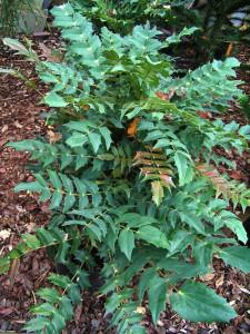 mahonie plant