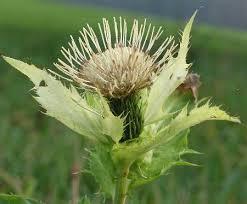 moesdistel bloem