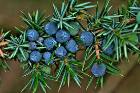 jeneverbes-plant