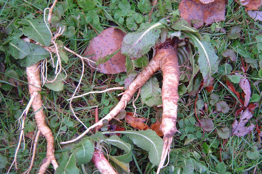 wortel van middelste teunisbloem